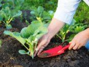 Що садити після капусти