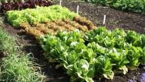 Що можна садити після капусти