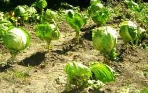 Посадка овочів після капусти на наступний рік