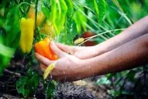 Які овочі не слід висаджувати після капусти
