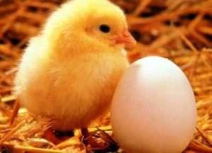 Цитогенетичний метод визначення статі курчат