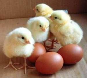 Визначення статі курчати по формі яйця