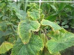 Чому жовтіє листя огірків з середина та по краях
