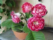 Глоксинія: вирощування, догляд, пересадка та розмноження в домашніх умовах з фото