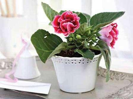 Як доглядати за квіткою Глоксинія