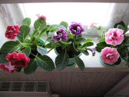 Глоксинія - полив, підгодівля та догляд за королівською квіткою