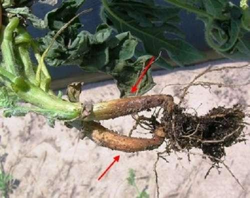 На фото коренева гниль огірків