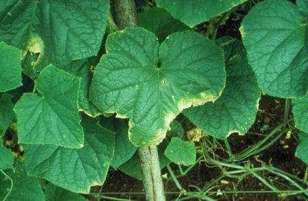 Характерні плями аскохитоз огірка з'являються і на листках, які пізніше засихають