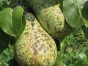 Шкідники і хвороби груші: чим лікувати та як боротися з цитоспорозом, борошнистою росою
