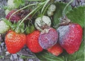 Сіра гниль на полуниці