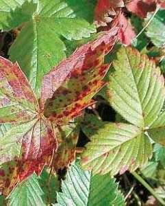Плямистість листя полуниці