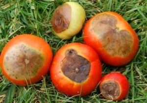 Вершинна гниль помідорів