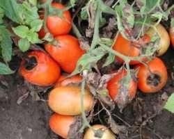 Бура гниль помідорів