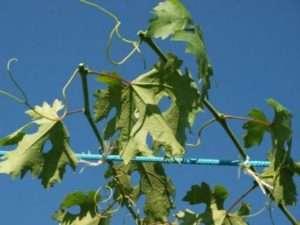 Обрізання винограду восени