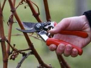Обрізання винограду як підготовка до зими