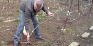 Підготовка лози винограда до укриття
