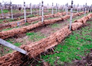 Укриття винограда соломою