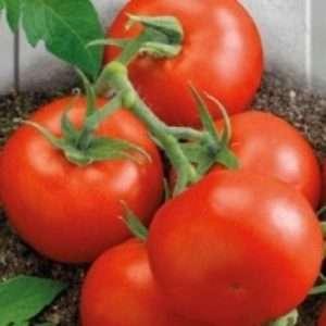 Вирощуання помідорів Ляна