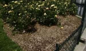 Мульчування паркових троянд