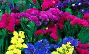 Кермек, фото квітів