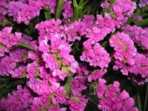 Лімоніум, фото квітів