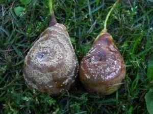 Гниють груші