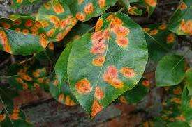 Іржа листя груші