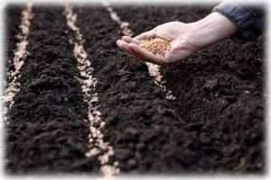 Овочі, які можна садити на зиму