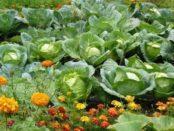 Як і коли збирати білокачанну капусту з городу для зберігання на зиму