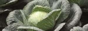 умови і терміни збору білокачанної капусти