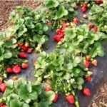 Як підготувати полуницю до зими —обробка,підгодівля, догляд + відео