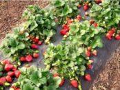 Як підготувати полуницю до зими та чим вкривати від холодів та морозів
