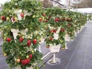 як правильно саджати розсаду полуниці