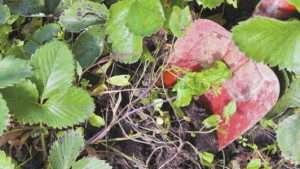 Обробка полуниці на зиму
