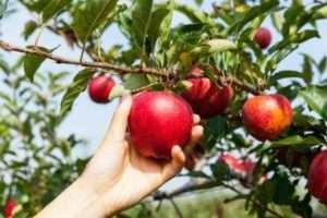 правильне збирання яблук