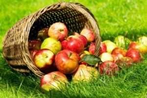 Ознаки стиглості яблук