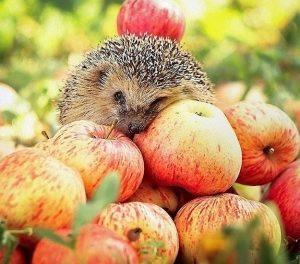 Правильне збирання яблук для довготривалого зберігання на зиму