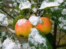 Особливості зимових сортів яблук