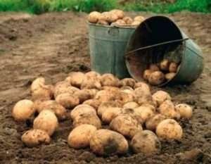 Зберігання картоплі в льху