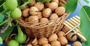 особливості збору волоського горіха
