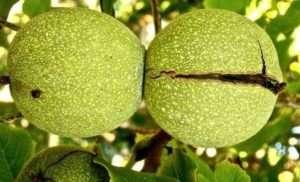 зовнішні ознаки дозрівання горіхів