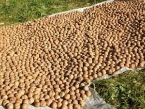 просушування горіхів