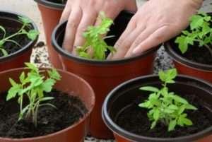 Коли висаджувати томати на розсаду