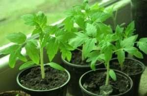 вирощування помідор на розсаду