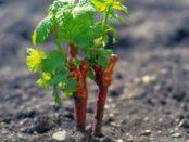 Вирощування винограду з живців взимку в домашніх умовах
