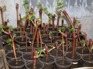 Пророщування живців винограду по посадки