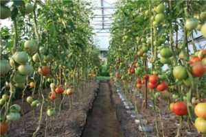 Кращі помідори на 2018 рік: врожайні сорти