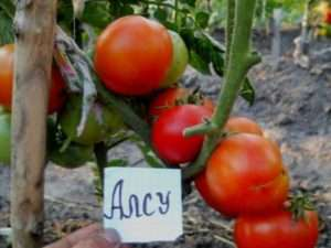 сорт томатів з хорошою врожайністю - Алсу