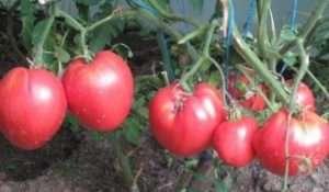 кординал - насіння помідор з високою врожайністю