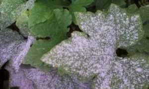 Як захистити розсаду огірків від борошнистої роси